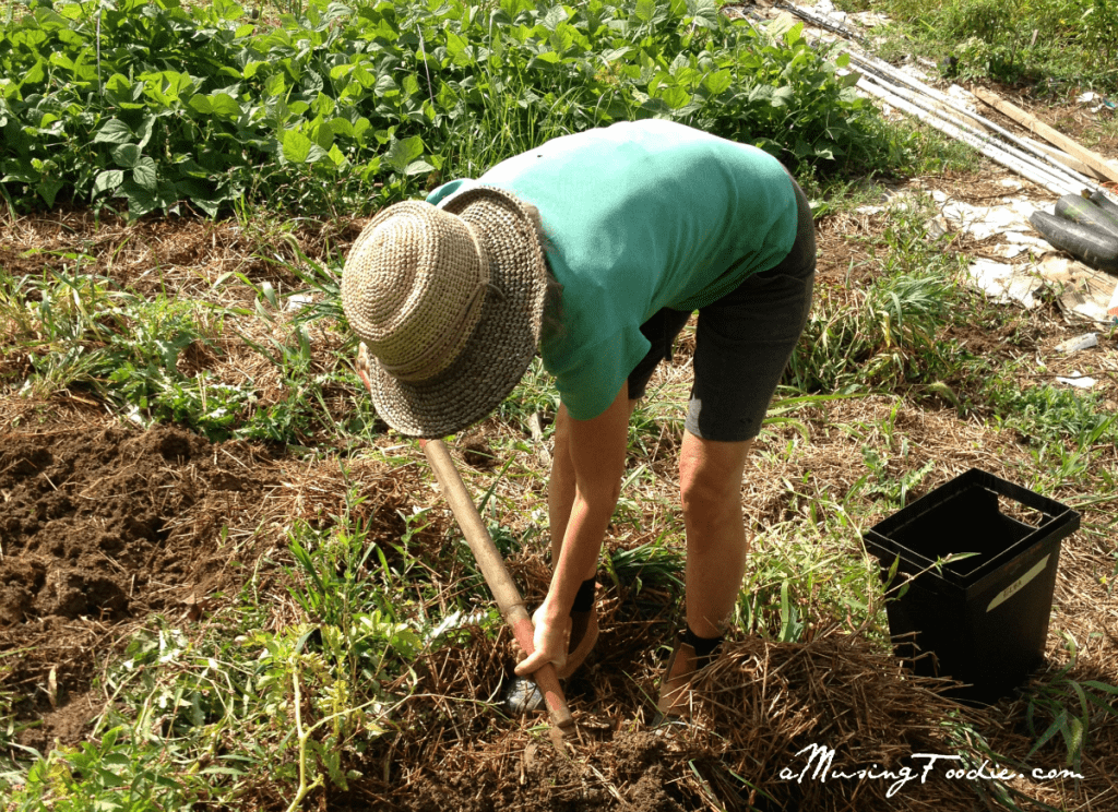 Digging up organic potatoes by hand
